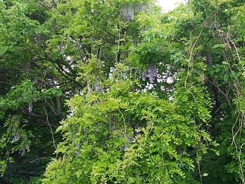 緑ヶ丘霊園の山藤