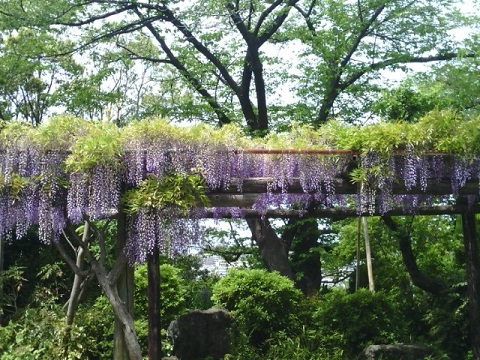 西光寺の藤