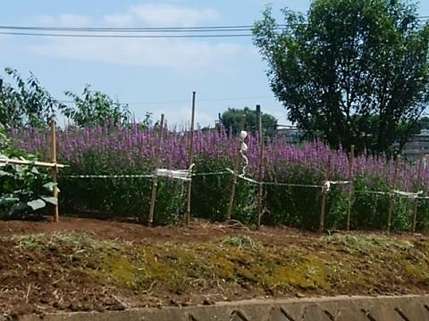 池辺町のハギ畑