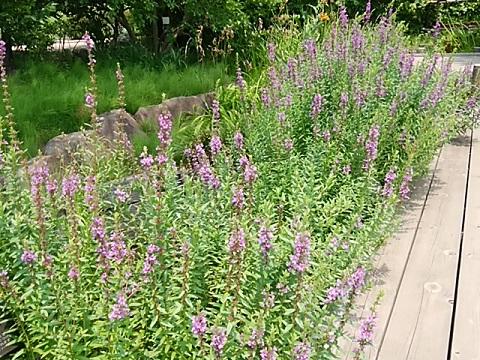馬場花木園のミソハギ