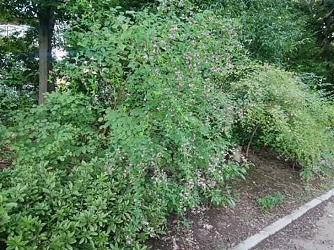鴨池公園の萩