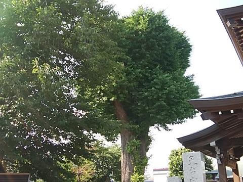 泉福寺イチョウ