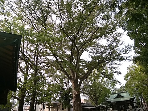 小杉神社ケヤキ
