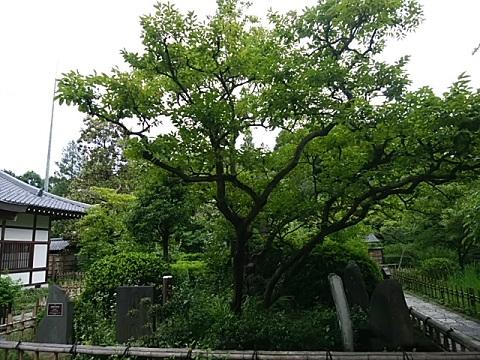 王禅寺カキノキ