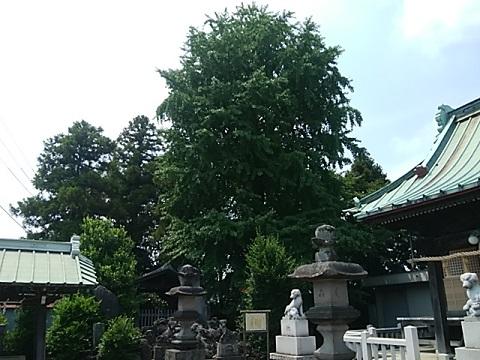 橘樹神社イチョウ