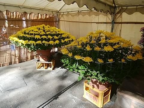 千年神社菊花会