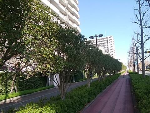 京町の金木犀並木