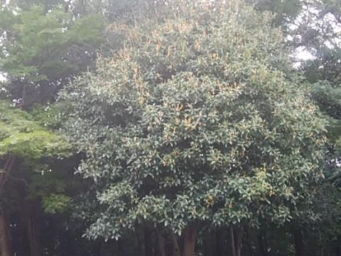 四季の森公園キンモクセイ