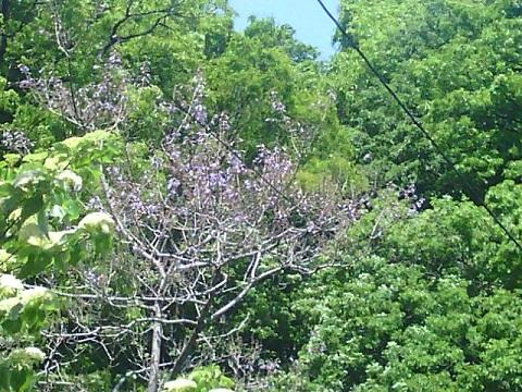 初山1丁目の桐の花