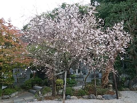 秋の十月桜