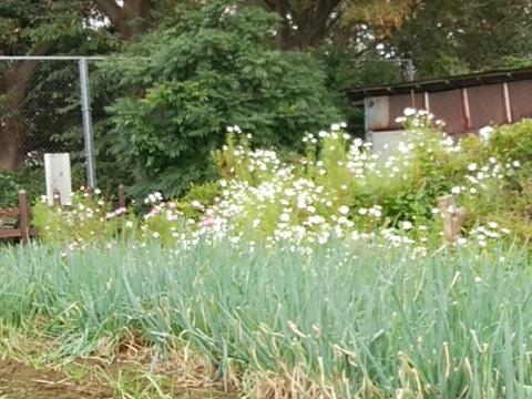 西寺尾の丘公園頂上付近の畑