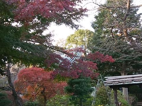 興禅寺モミジ