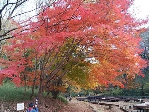 四季の森公園モミジ