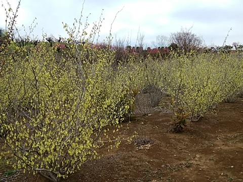 花桃の丘トサミズキ