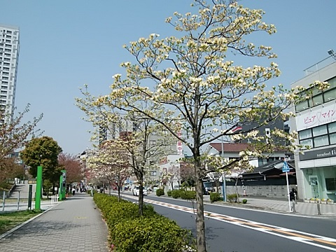 川崎駅西口のハナミズキ並木