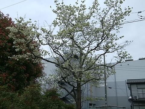 野川中耕地公園のハナミズキ