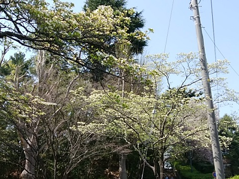 大倉山公園のハナミズキ