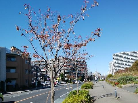 新川崎のハナミズキ並木