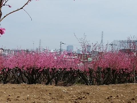 上作延の桃畑