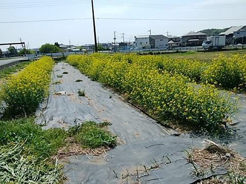 早野の菜の花畑