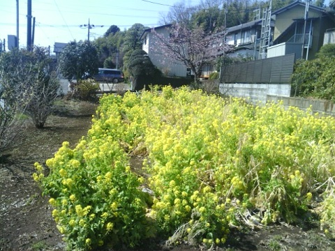 稗原バス停菜の花畑