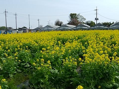 久末小学校横菜の花