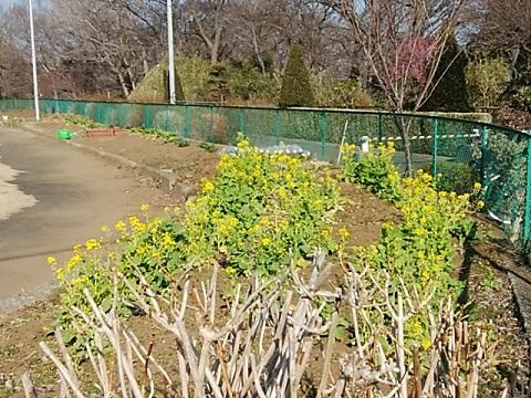 井田伊勢台緑地の菜の花