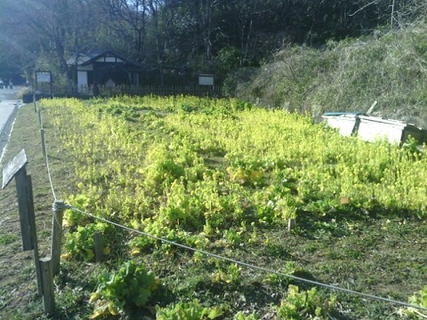 寺家ふるさと村菜の花畑