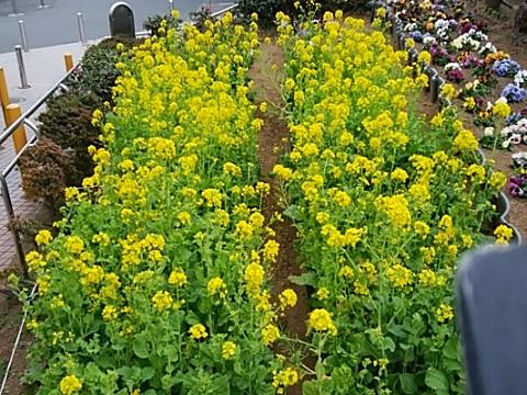 鴨居橋菜の花