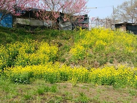 片平4丁目の菜の花畑