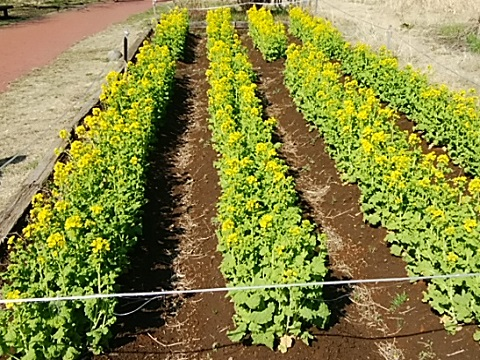 三ツ池公園の菜の花畑