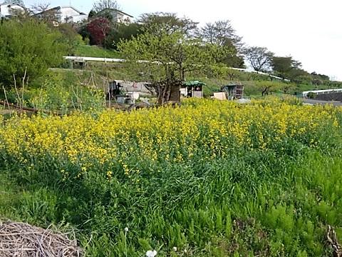 岡上営農団地菜の花畑