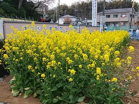 蓮花寺前の菜の花畑