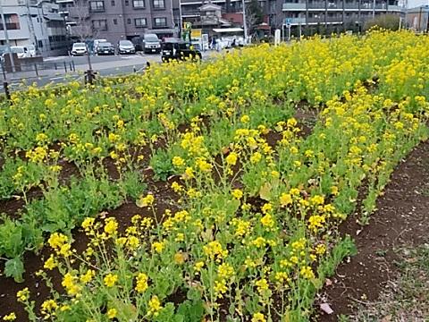 さいわいふるさと公園の菜の花畑