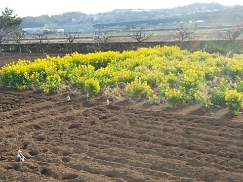 下根信号前の菜の花畑
