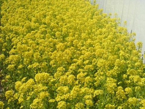 新鶴見公園菜の花畑