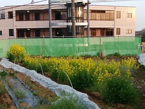 杉山神社横の菜の花畑