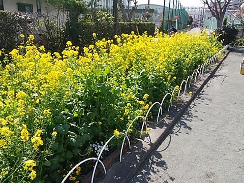 殿町第一公園菜の花畑