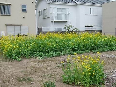 矢向4丁目の菜の花畑