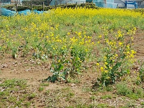 横溝屋敷菜の花畑