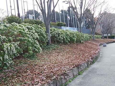 横浜国際プールのあせび