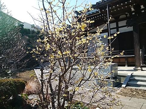 東観寺ロウバイ