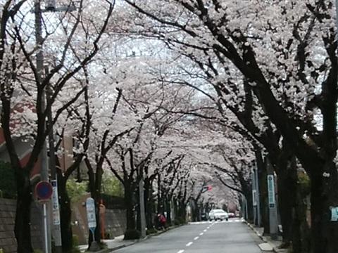 あざみ野桜通り