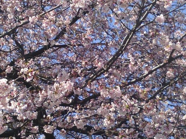江田駅前の大寒桜