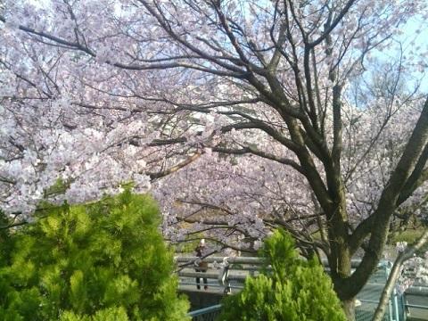 麻生川小彼岸桜
