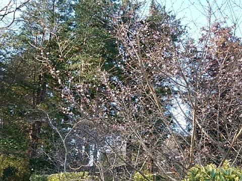 青葉霊園十月桜