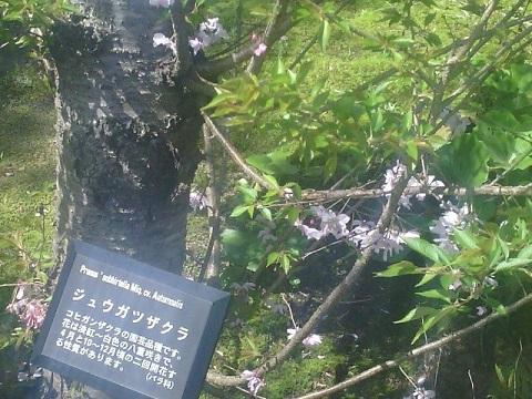 馬場花木園十月桜
