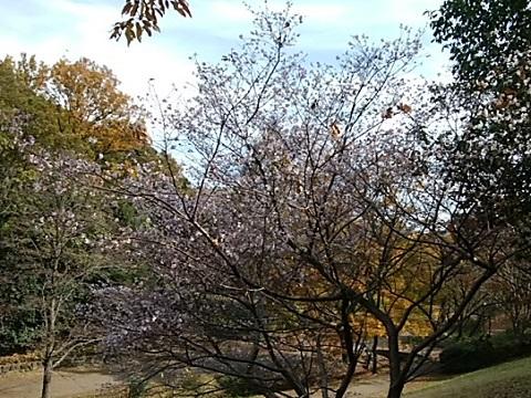 くさぶえのみち十月桜