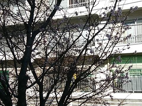 二ヶ領用水十月桜
