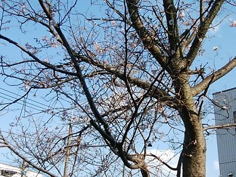 野川の十月桜